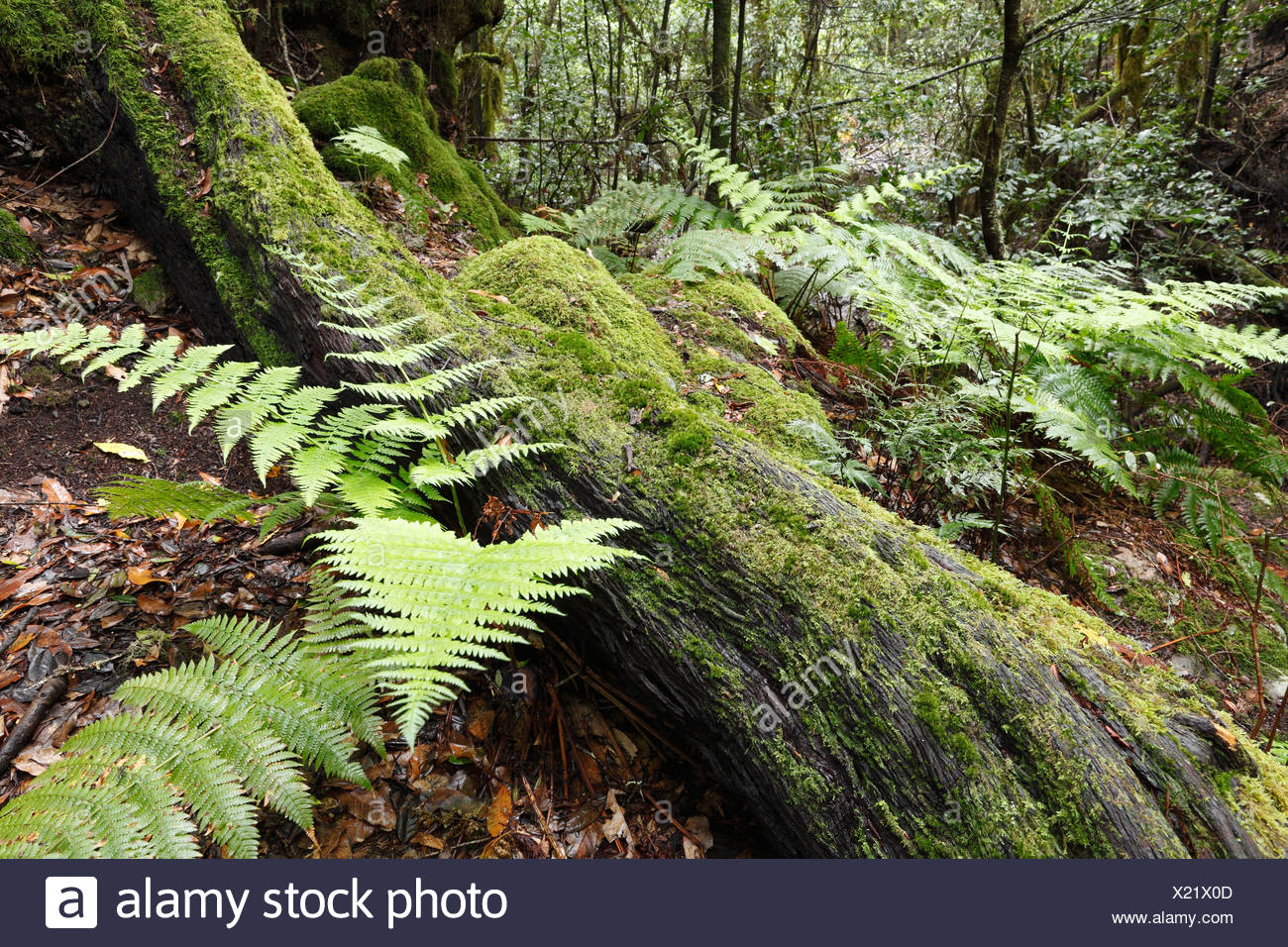 Ferns and moss-covered tree in a laurel forest, Garajonay National Park, La Gomera, Canary Islands, Spain, Europe Stock Photo