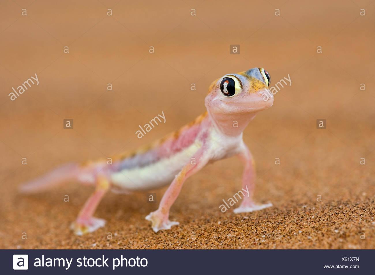 Web-footed Gecko (Palmatogecko rangei) sand Namib desert Namib-Naukluft National Park, Namibia Stock Photo