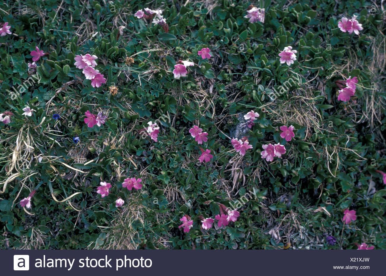 Entire Leaved Primrose Primula integrifolia - Stock Image