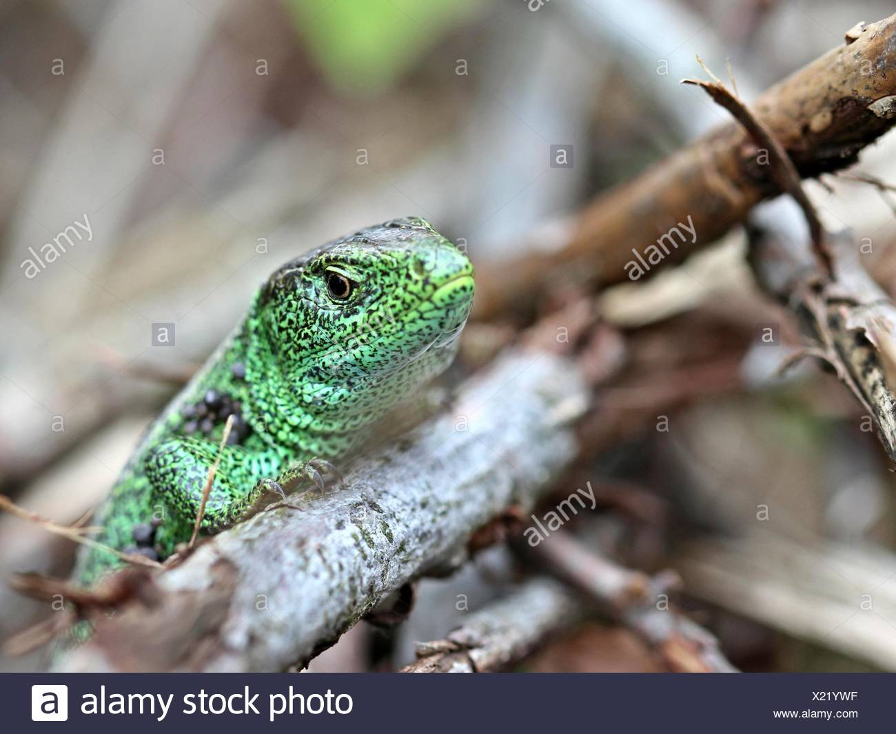 male sand lizard on drnberg - Stock Image