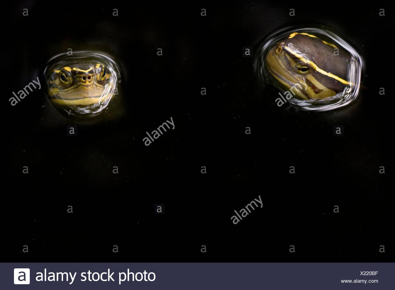 Two Malaysian box turtles (Cuora amboinensis) with heads above water, Sarawak, Borneo, Malaysia - Stock Image