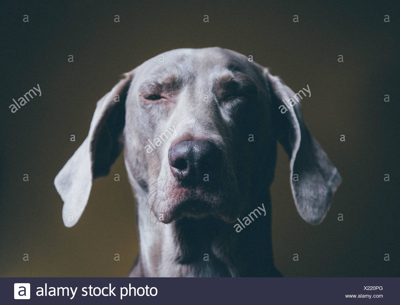 Close-Up Of Winking Weimaraner - Stock Image