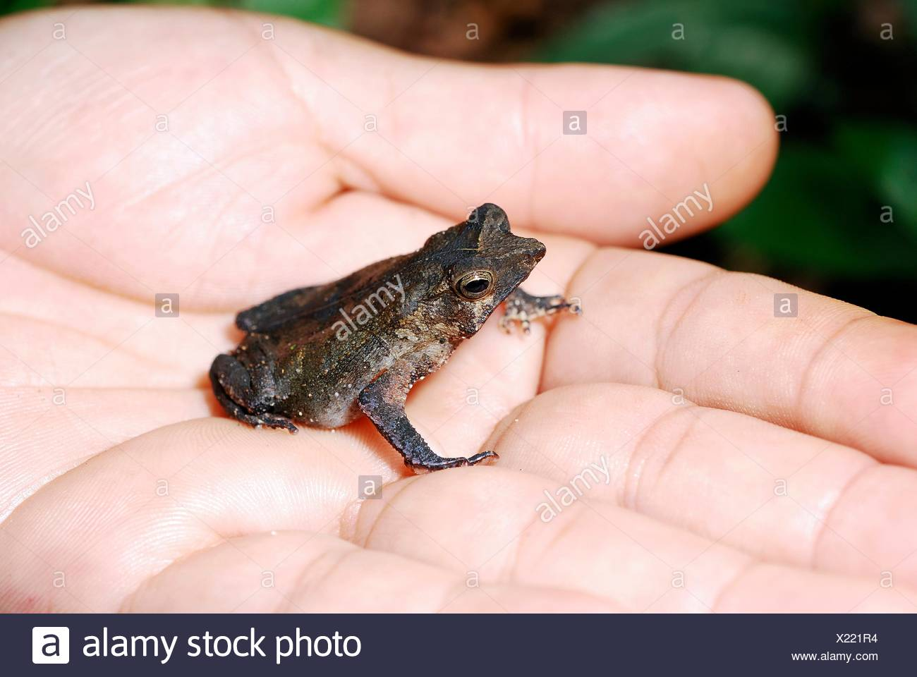 Rhinella sp , 2009  3 cm lenght - Stock Image