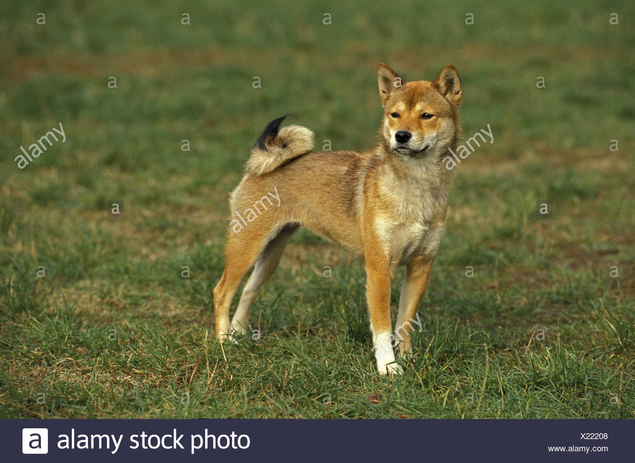 Shiba Inu Dog on Grass - Stock Image