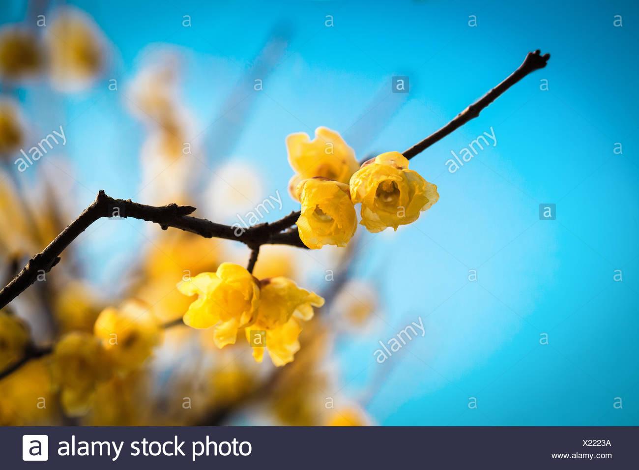 wintersweet twig - Stock Image