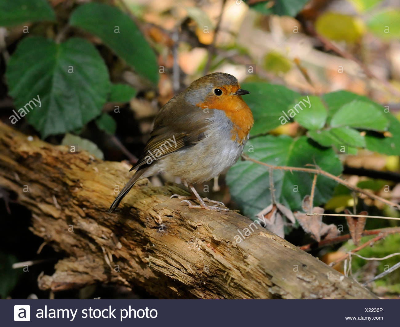 A small juvenile red robin sitting on a branch - Stock Image