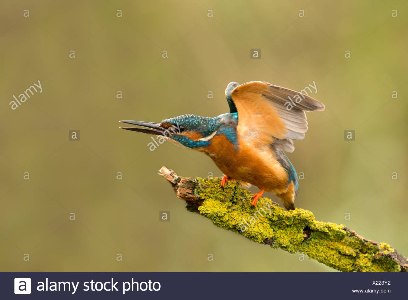 Adult Kingfisher (Alcedo atthis) displaying aggressive dominance behaviour to maintain territory whilst perched and fishing, United Kingdom, England - Stock Image