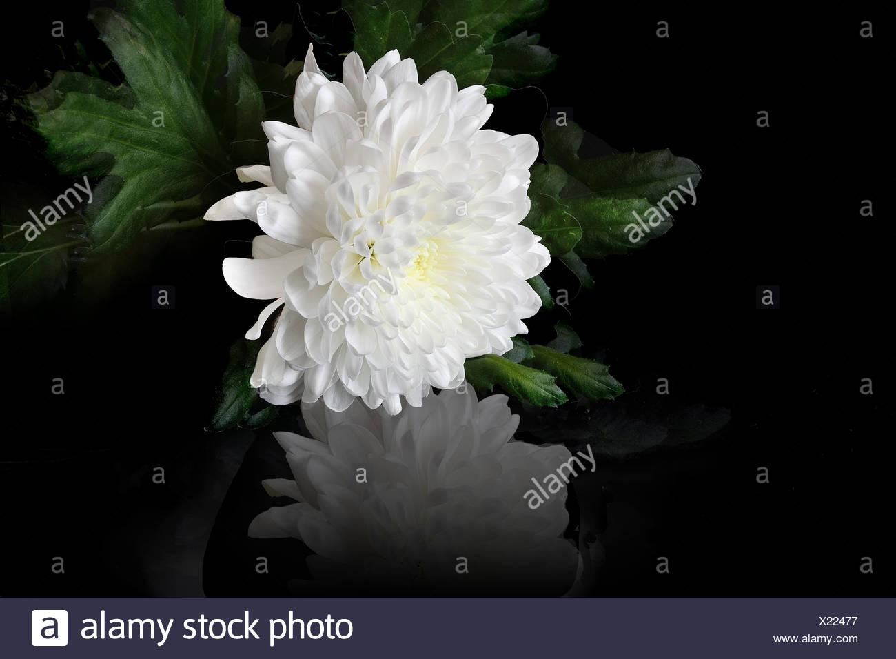White Chrysanthemum Flower Stock Photo 276642443 Alamy