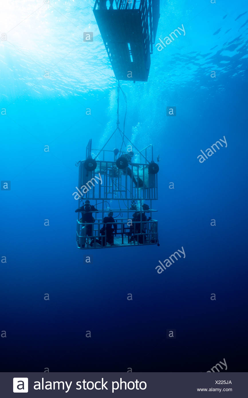 Great White Shark Cage Diving, Guadalupe Island, Mexico - Stock Image