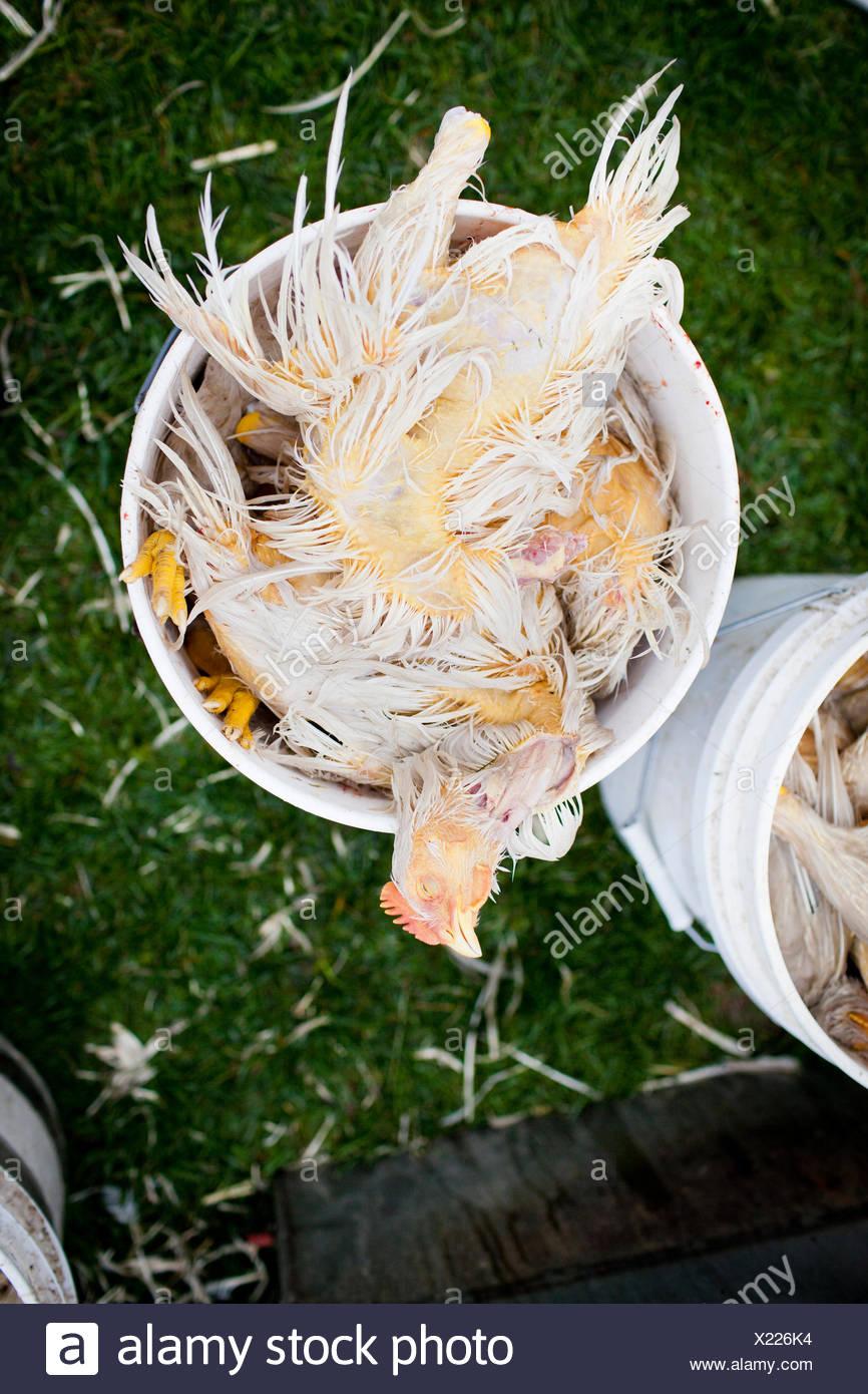 Slaughtered chicken in bucket. - Stock Image