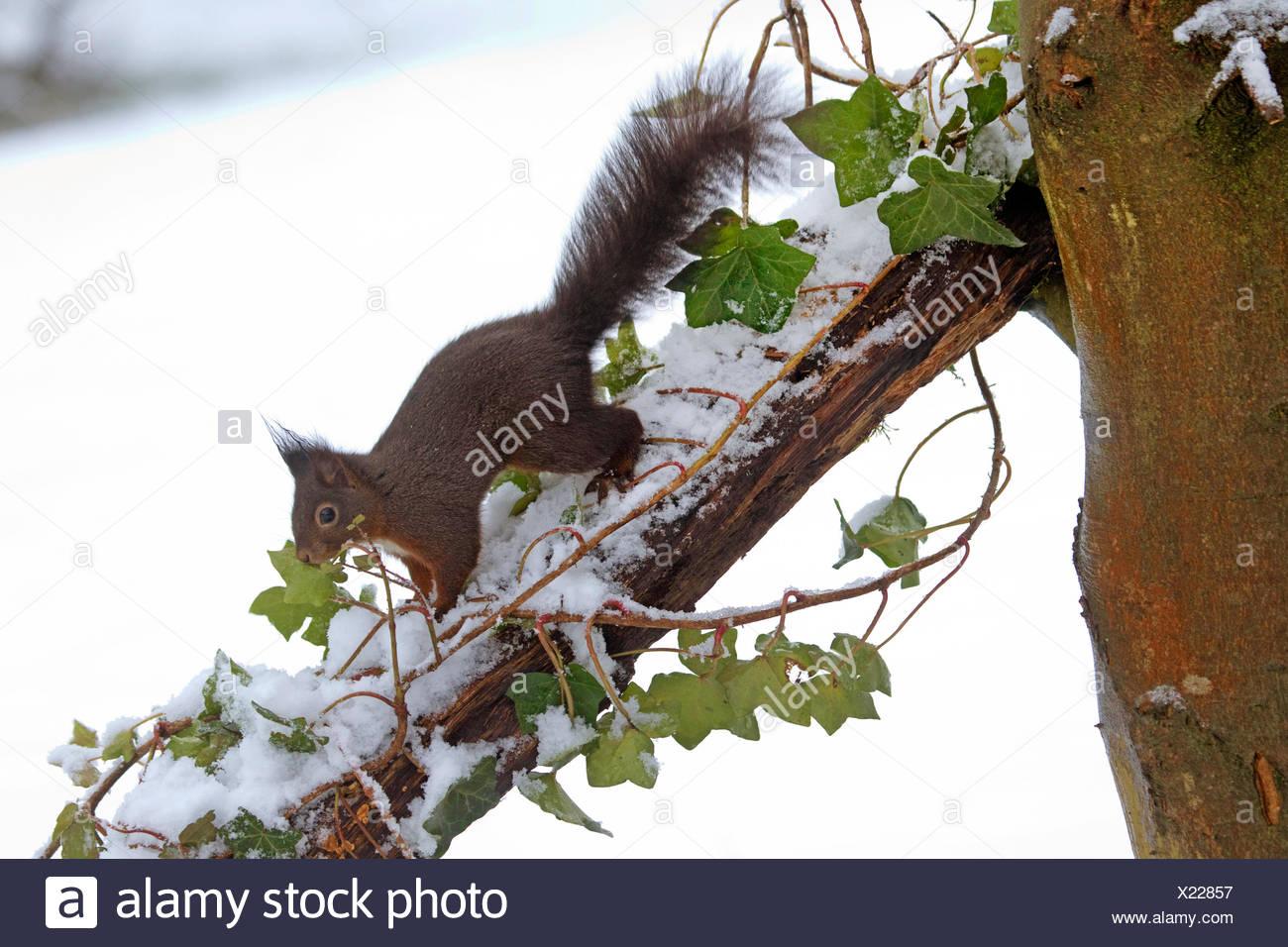 European red squirrel, Eurasian red squirrel (Sciurus vulgaris), searching food by fresh snow on a branch, Germany, North Rhine-Westphalia Stock Photo