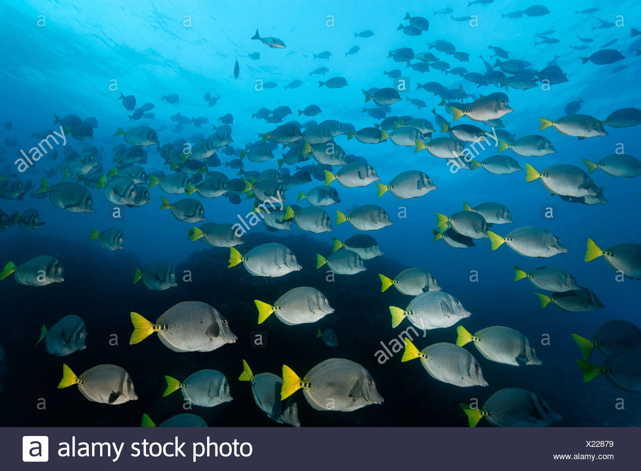 Razor surgeonfish (Prionurus laticlavius), San Benedicto Island, near Socorro, Revillagigedo Islands, archipelago, Mexico - Stock Image