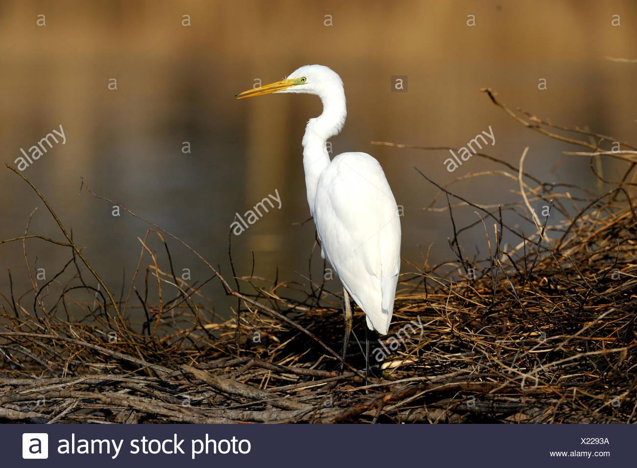 Egret Casmerodius albus heron ciconiiformes birds water birds egrets late winter beaver lodge Altmuehl lake Franconia animal a - Stock Image