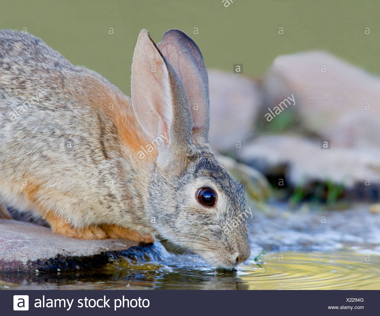 Rabbit (Oryctolagus cuniculus) drinking water from a pond - Stock Image