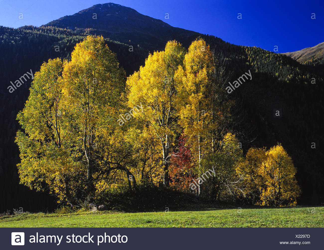 Eine Gruppe Espenim Herbst, A group of Aspen trees in autumn, Autumn, Fall, Aspen, Nature, Tree, Trees, Leaves, Colored, Yellow, - Stock Image