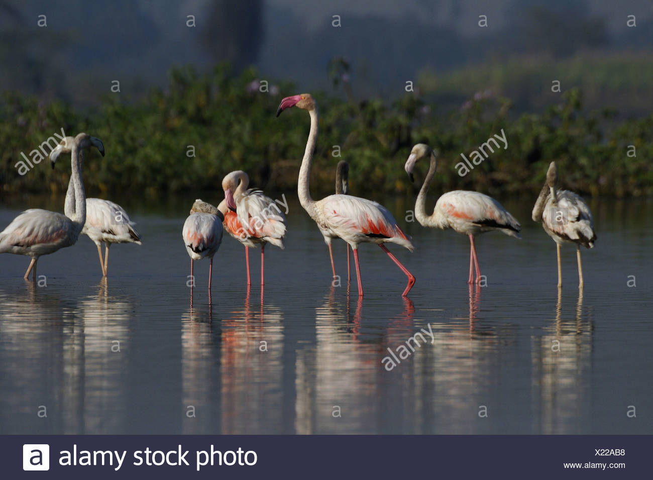 Greater Flamingo (Phoenicopterus roseus) most widespread species of the flamingo family. It is found in parts of Africa, souther Stock Photo