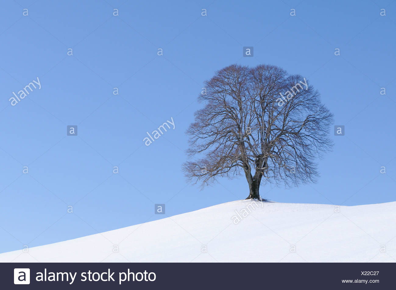 Linden or Lime Tree (Tilia) on a hill, wintertime, Hirzel, Zurich, Switzerland, Europe - Stock Image