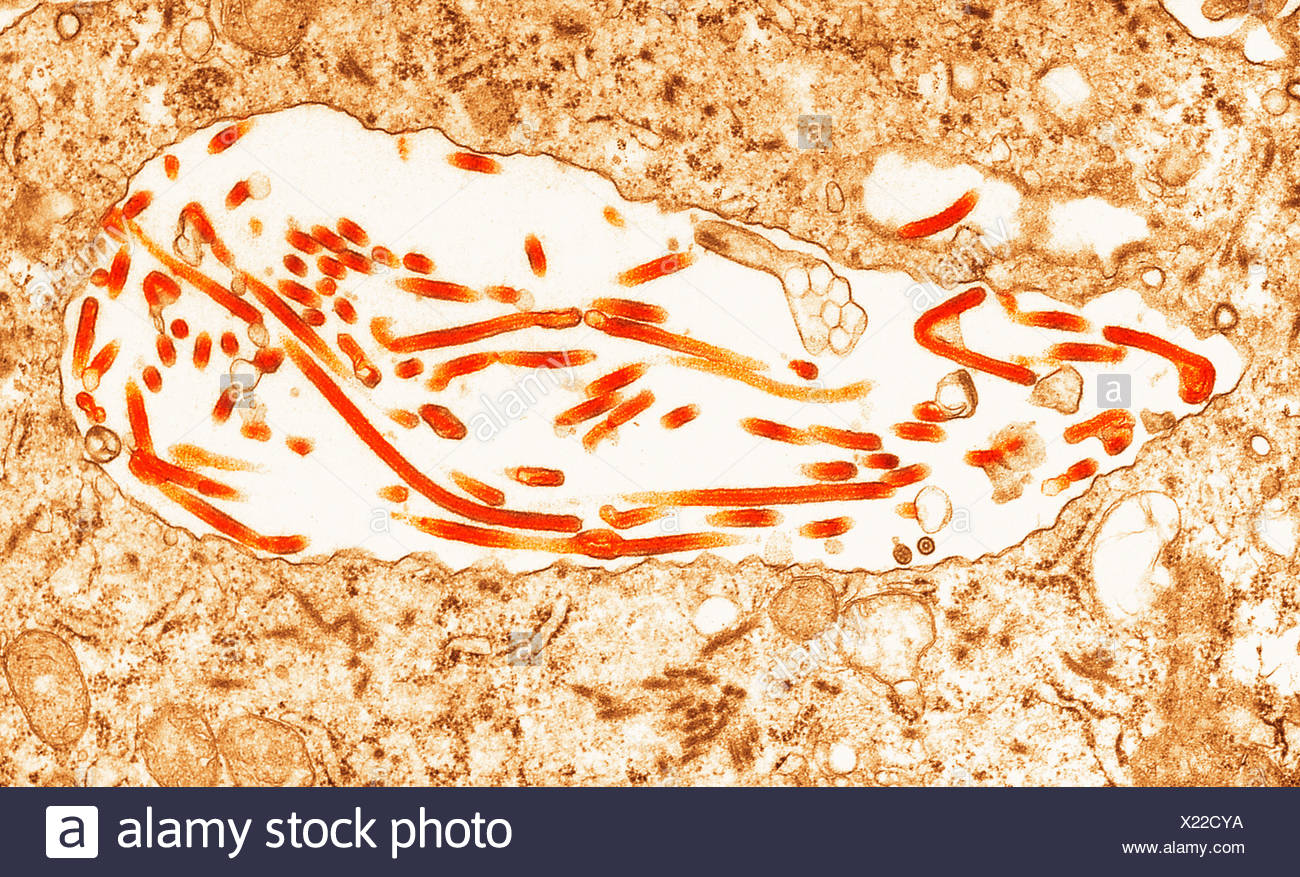 Transmission Electron micrograph of  Ebola virus - Stock Image