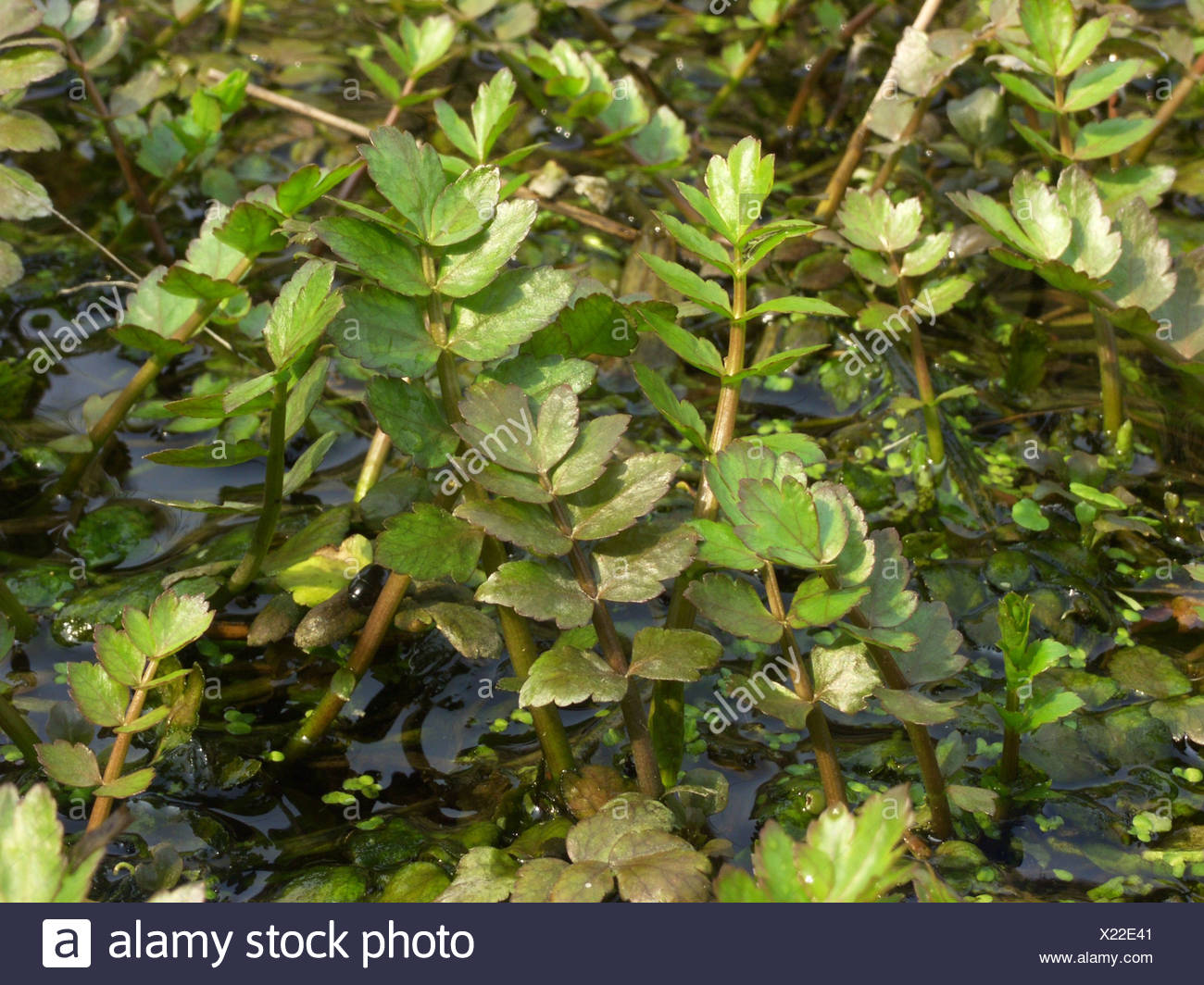 lesser water-parsnip, wild parsnip (Berula erecta), springshoot in a ditch Stock Photo
