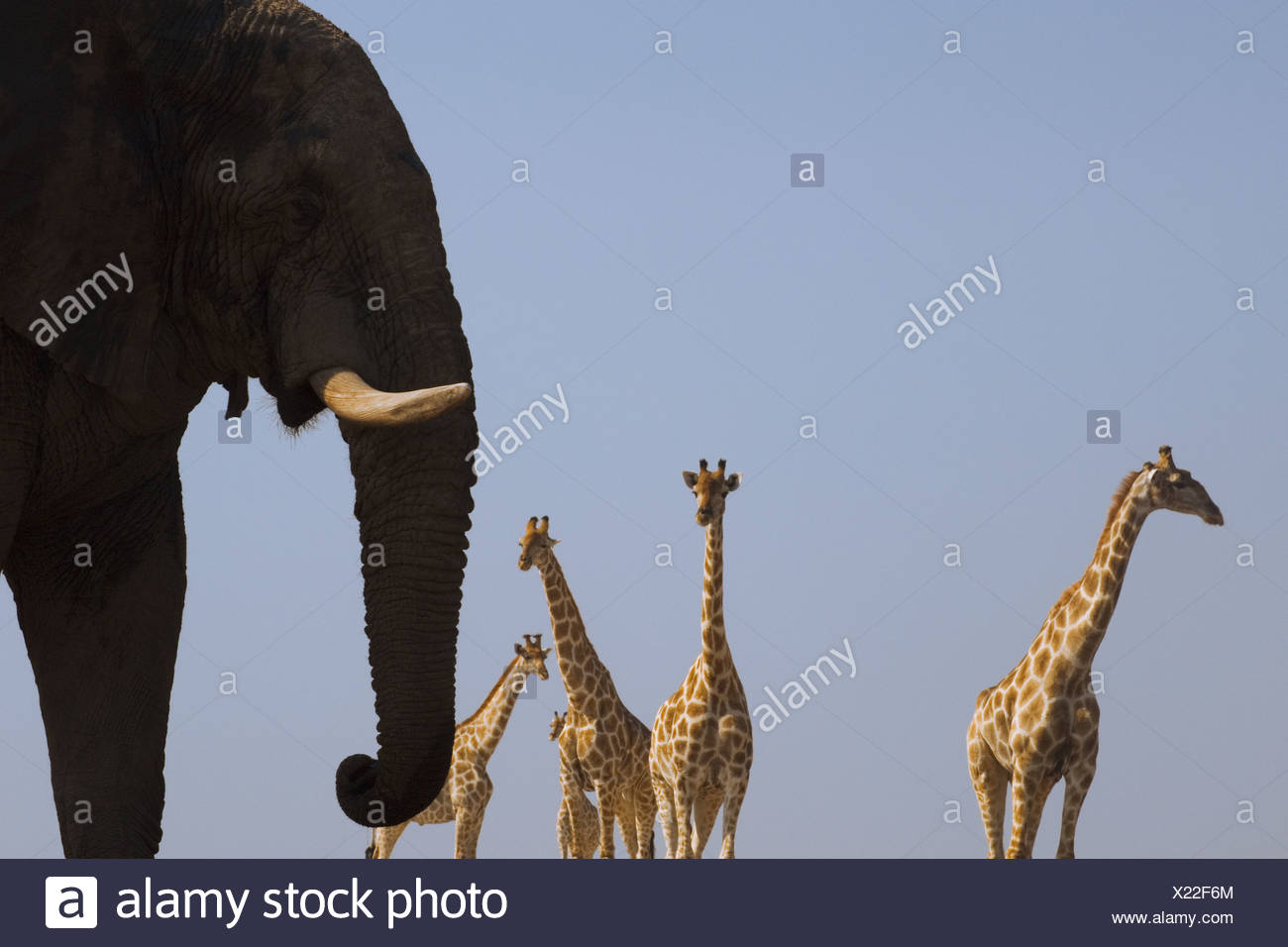 An elephant Loxodonta africana and four giraffes Giraffa camelopardalis in Etosha National Park Namibia - Stock Image