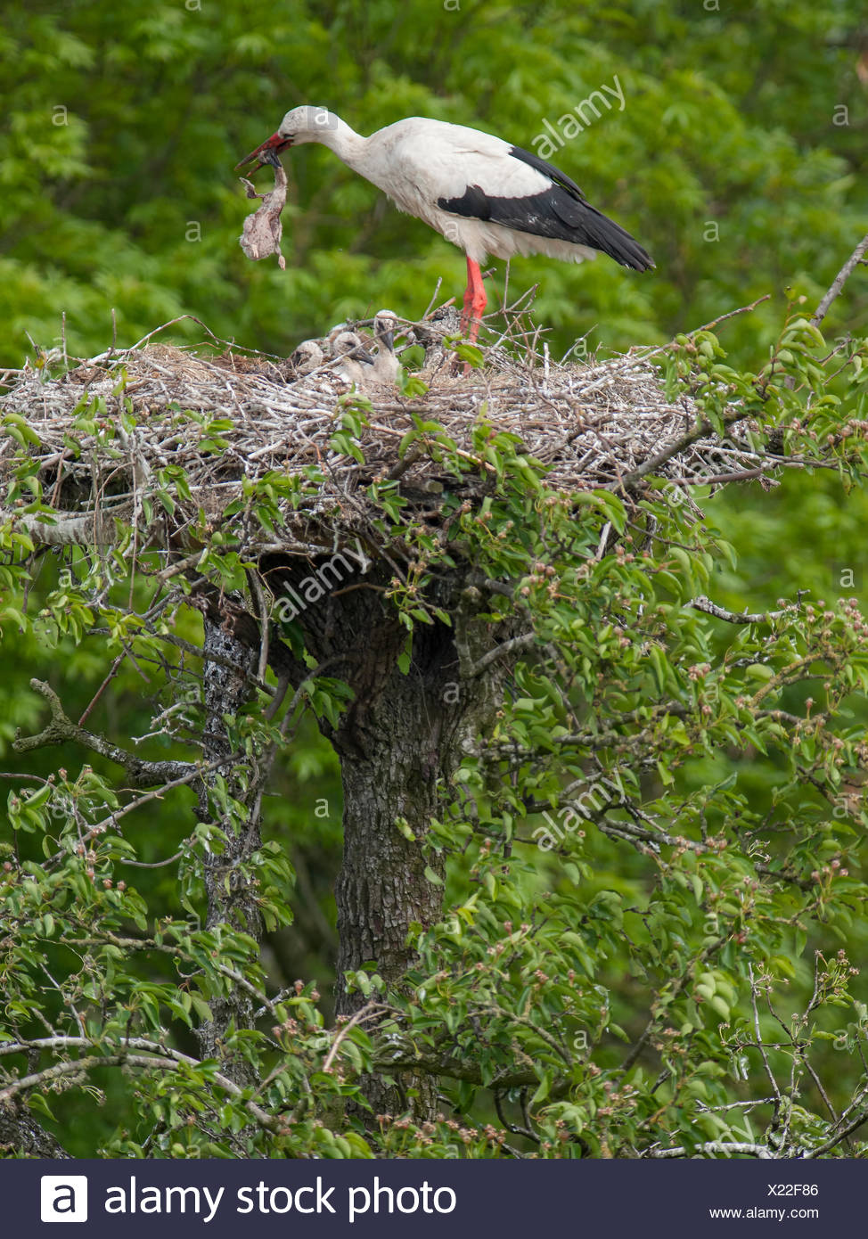 White Stork with two juveniles on nest. Parents tries eating its own dead chick. Europe Stock Photo