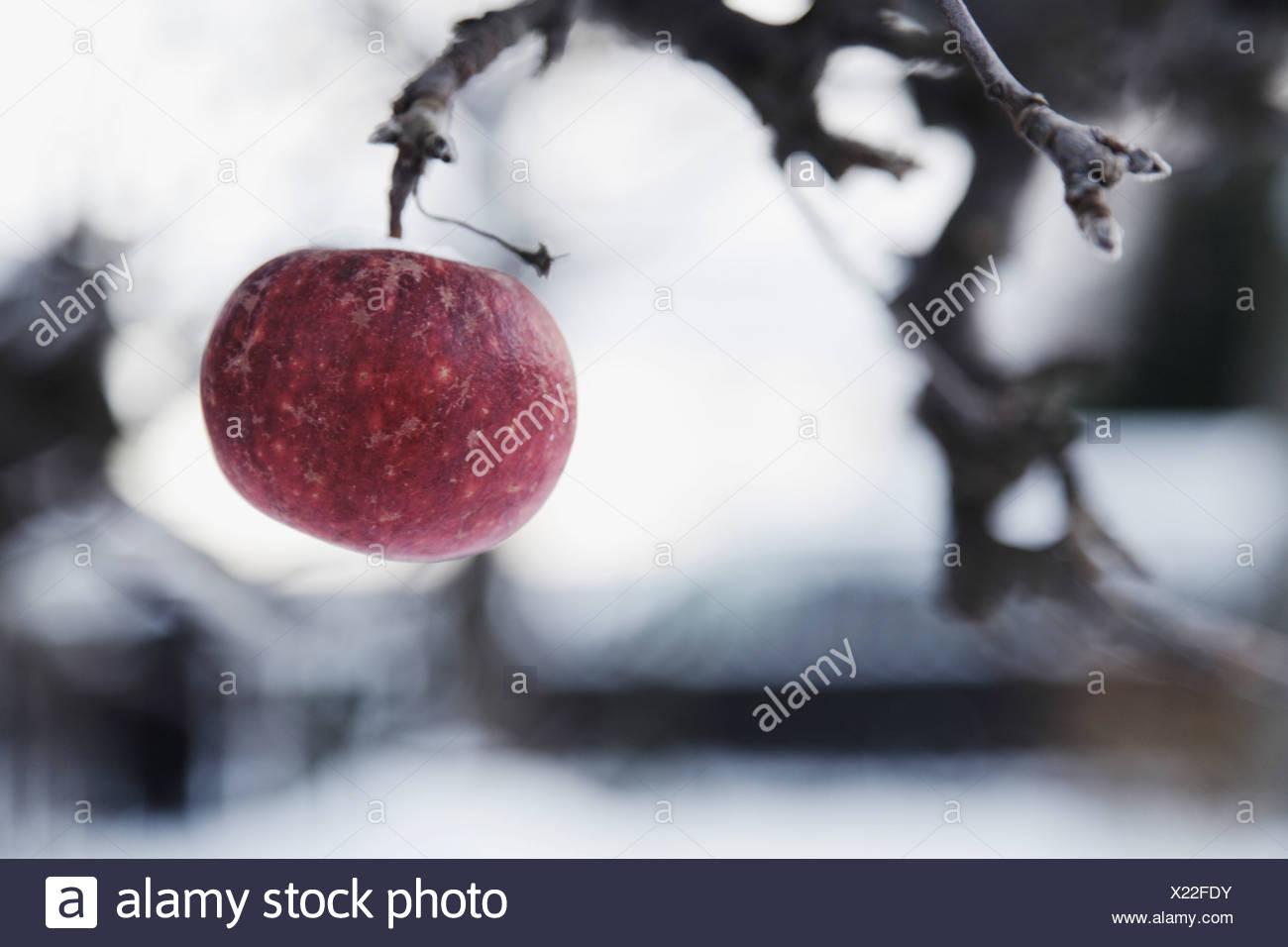 Last apple hanging on to tree - Stock Image