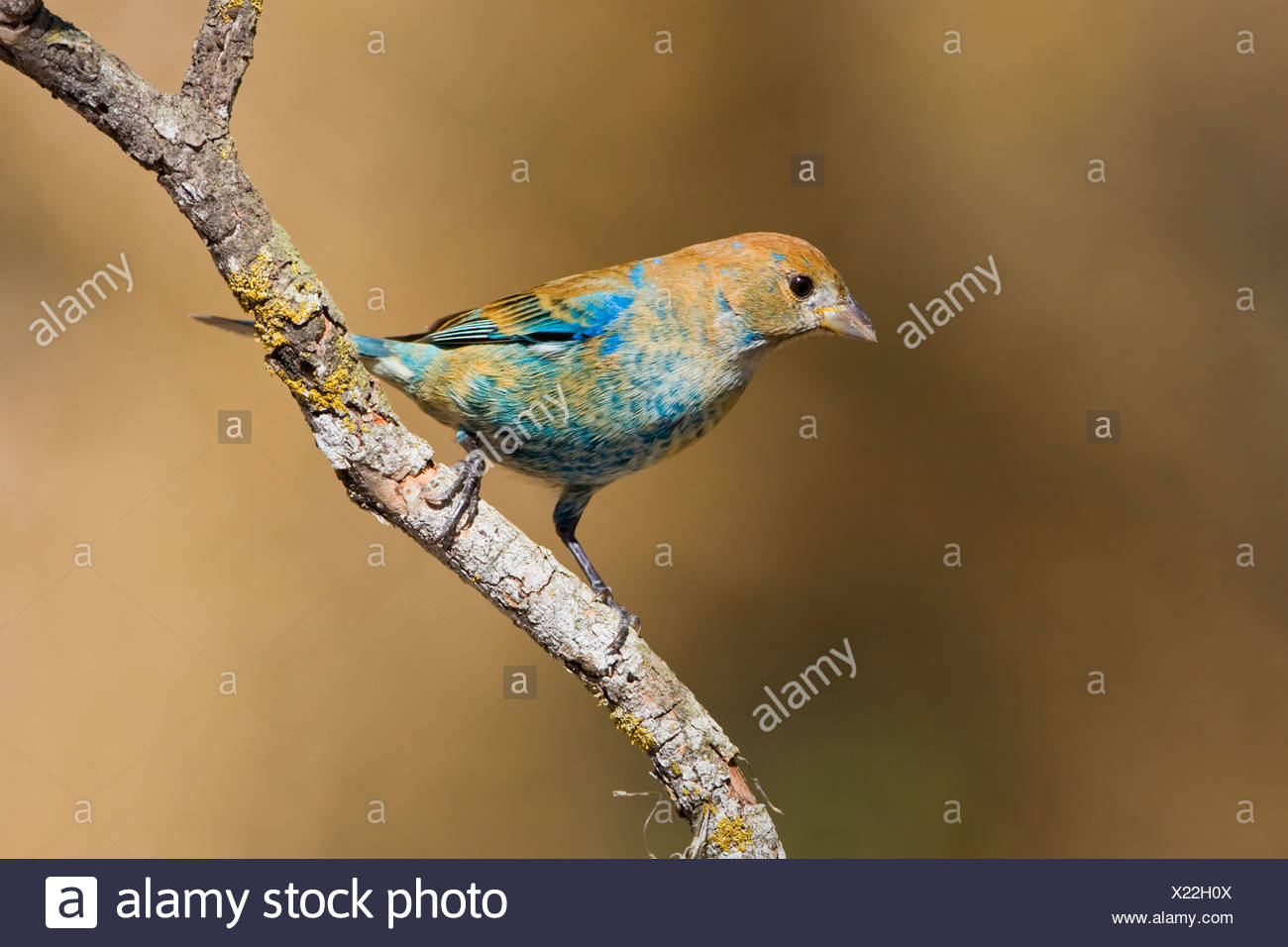 Indigo bunting (Passerina cyanea) perched on a branch near Long Point, Ontario, Canada - Stock Image
