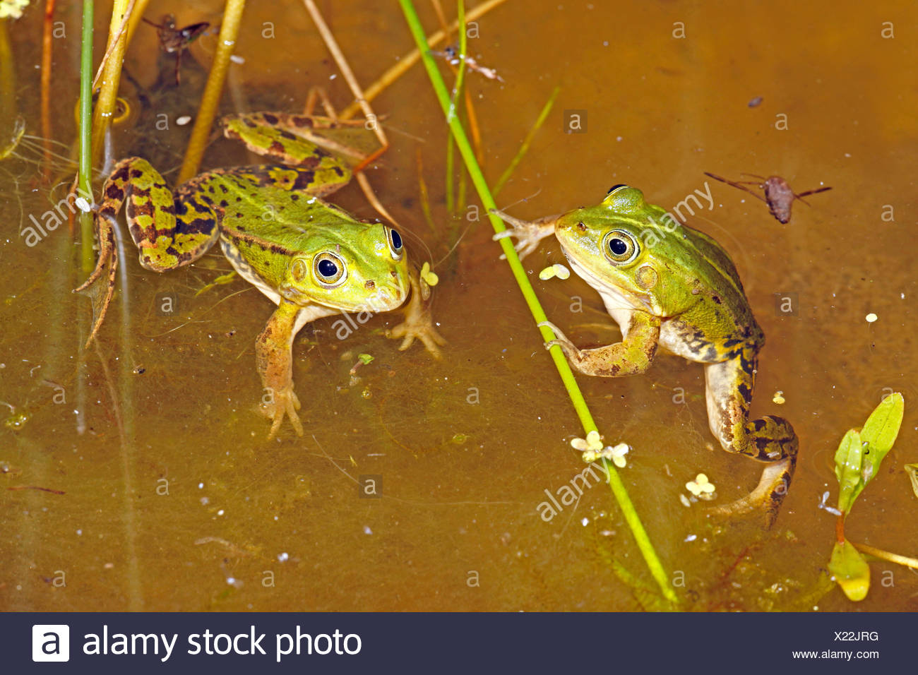 photo of two male pool frogs in their breeding pond at night - Stock Image