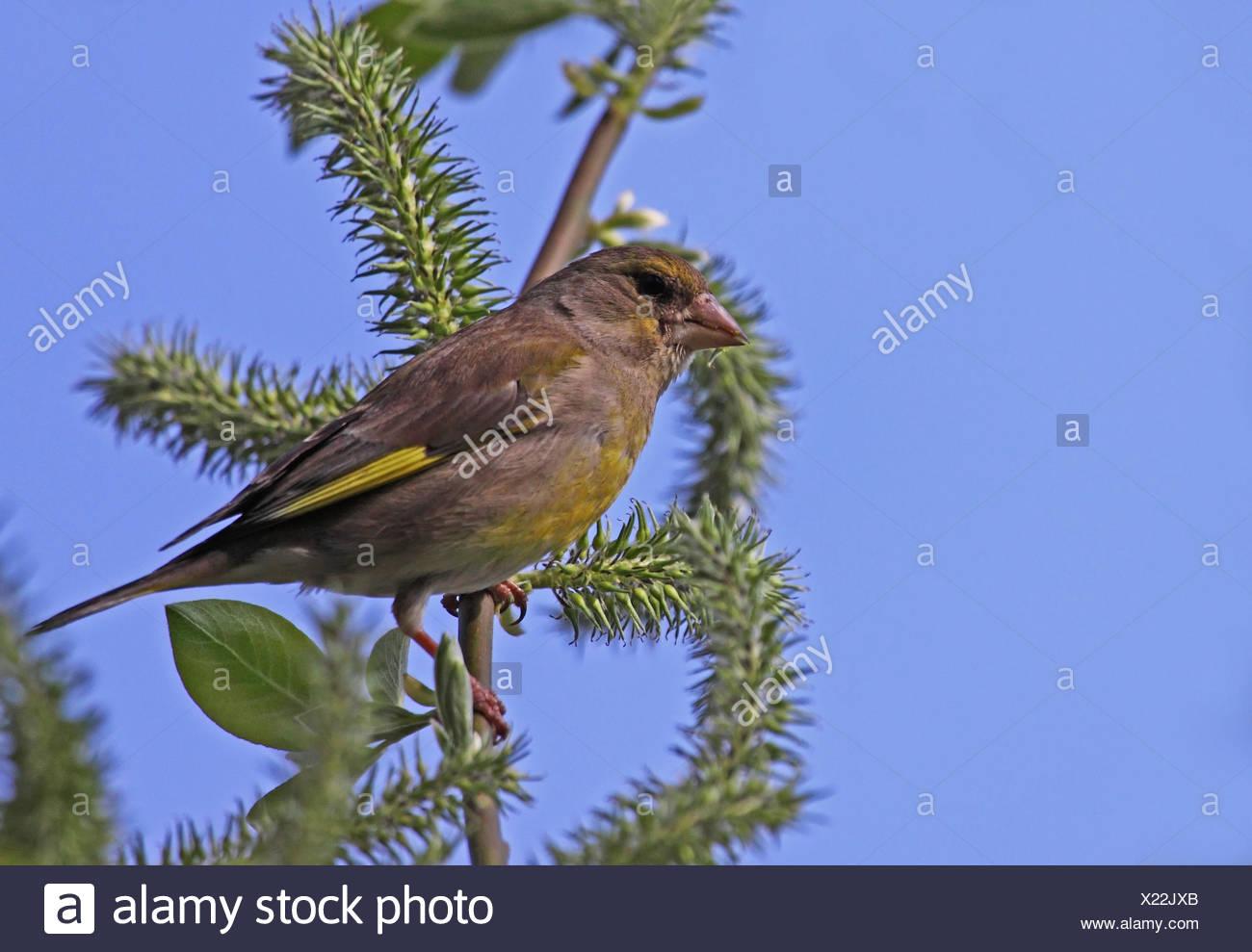 bird birds finches singing-bird bobolinks finch grnfink grnling standvgel Stock Photo