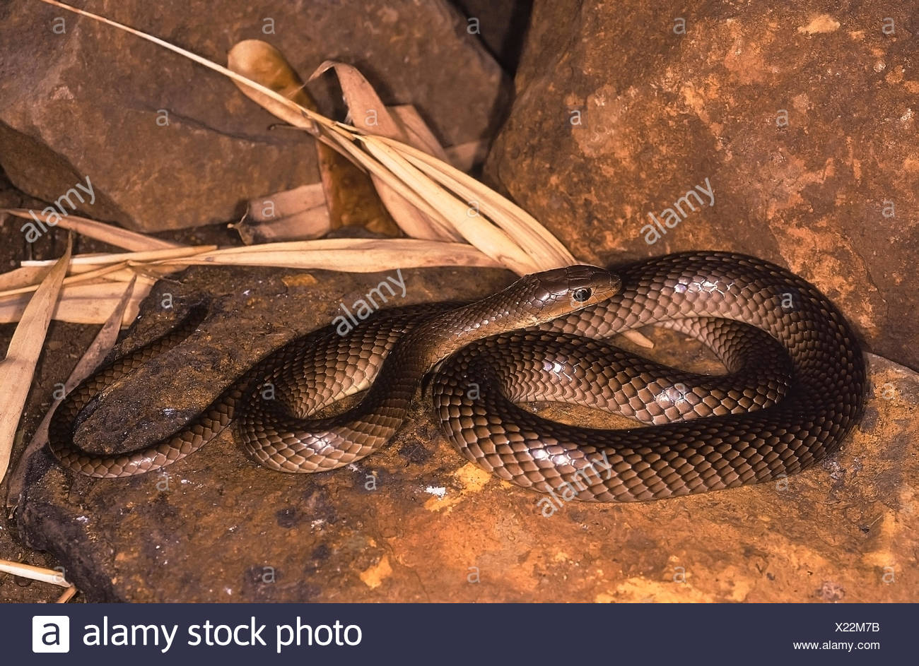 Psammophis longifrons STOUT SAND SNAKE. FULL BODY. VERY RARE. Harmless. Endemic to India. Photograph of an individual from Maharashtra, INDIA. - Stock Image