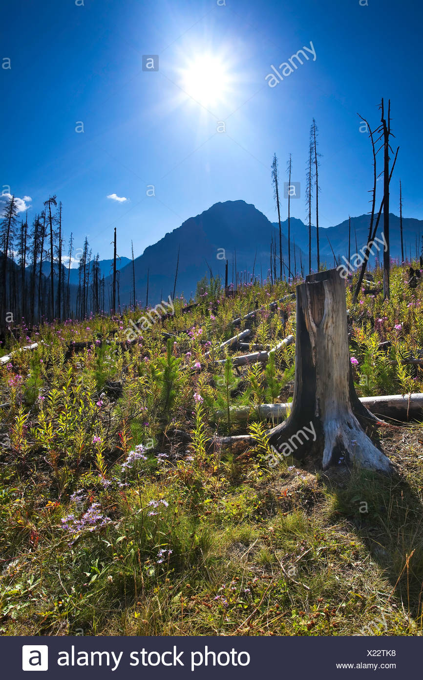 Forest renewal after 2003 Kootenay Wildfires - Stock Image