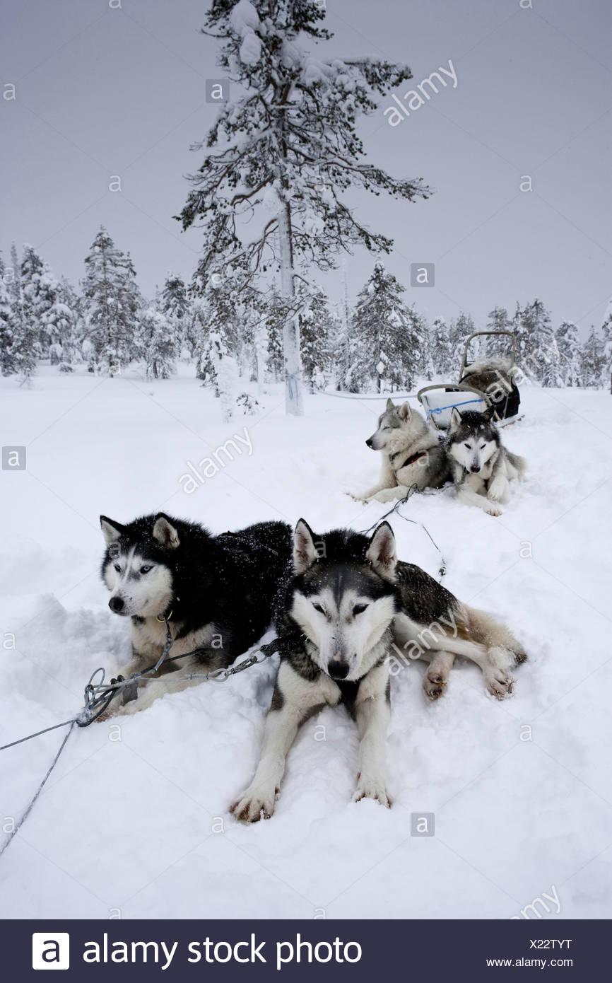 Siberian Husky Sled Dogs, Canis lupus familiaris, Lapland, Finland - Stock Image