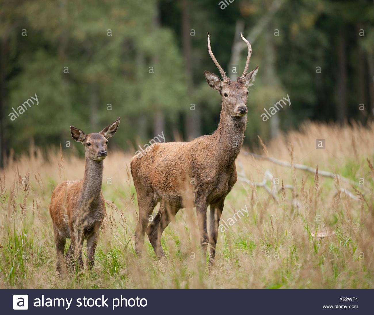Red Deer (Cervus elaphus), young stag and calf, captive, Saxony, Germany - Stock Image