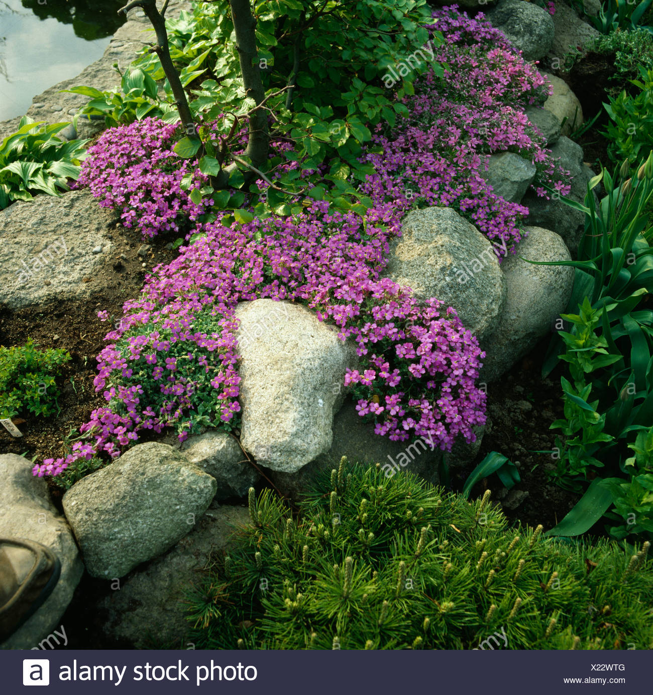 Close up of clumps of pink aubrieta growing over rounded boulders Stock Photo
