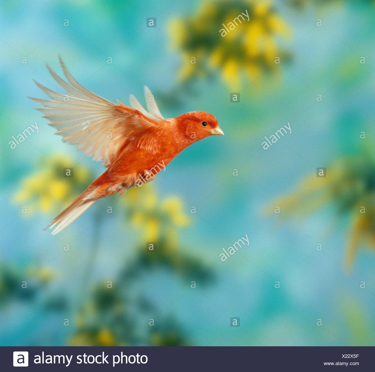 red canary - flying / Serinus canaria - Stock Image