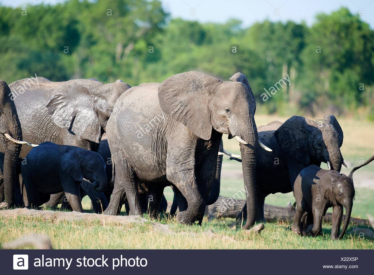 African elephant group (Loxodonta africana) with females and young foraging in the savanna. Hwange National Park, Zimbabwe. - Stock Image