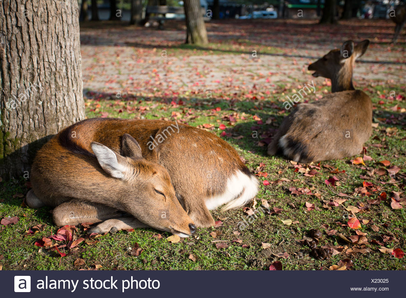 Japan, Kinki Region, Soraku District, Nara, Okuyama driveway, Bambi deers lying under tree - Stock Image