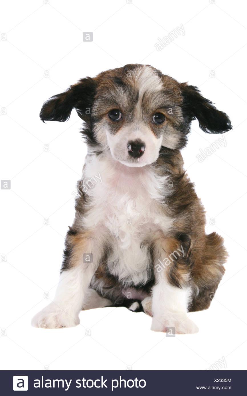 Chinese Crested Dog Powderpuff Puppy - Stock Image
