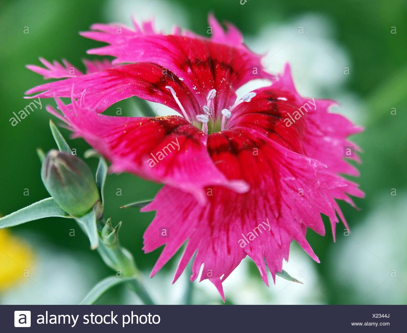 carnation flower plant green carnation bloom blossom flourish flourishing - Stock Image