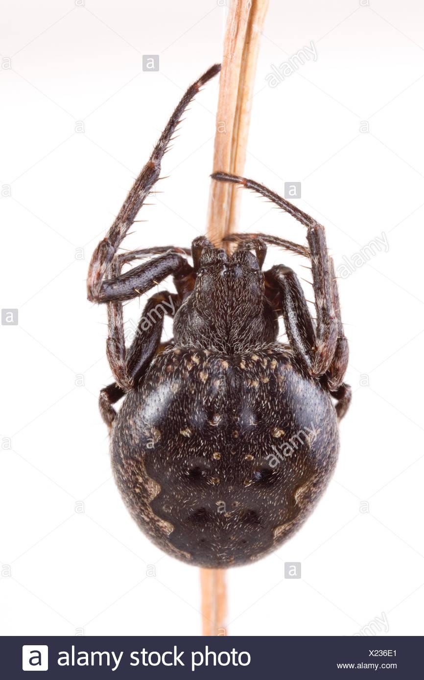 Walnut orb weaver spider  (Nuctenea umbratica) - Stock Image