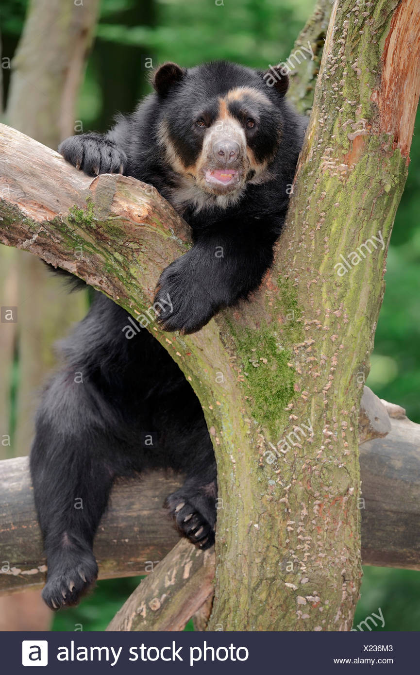 Spectacled or Andean Bear (Tremarctos ornatus), occurrence in South America, captive, Germany - Stock Image
