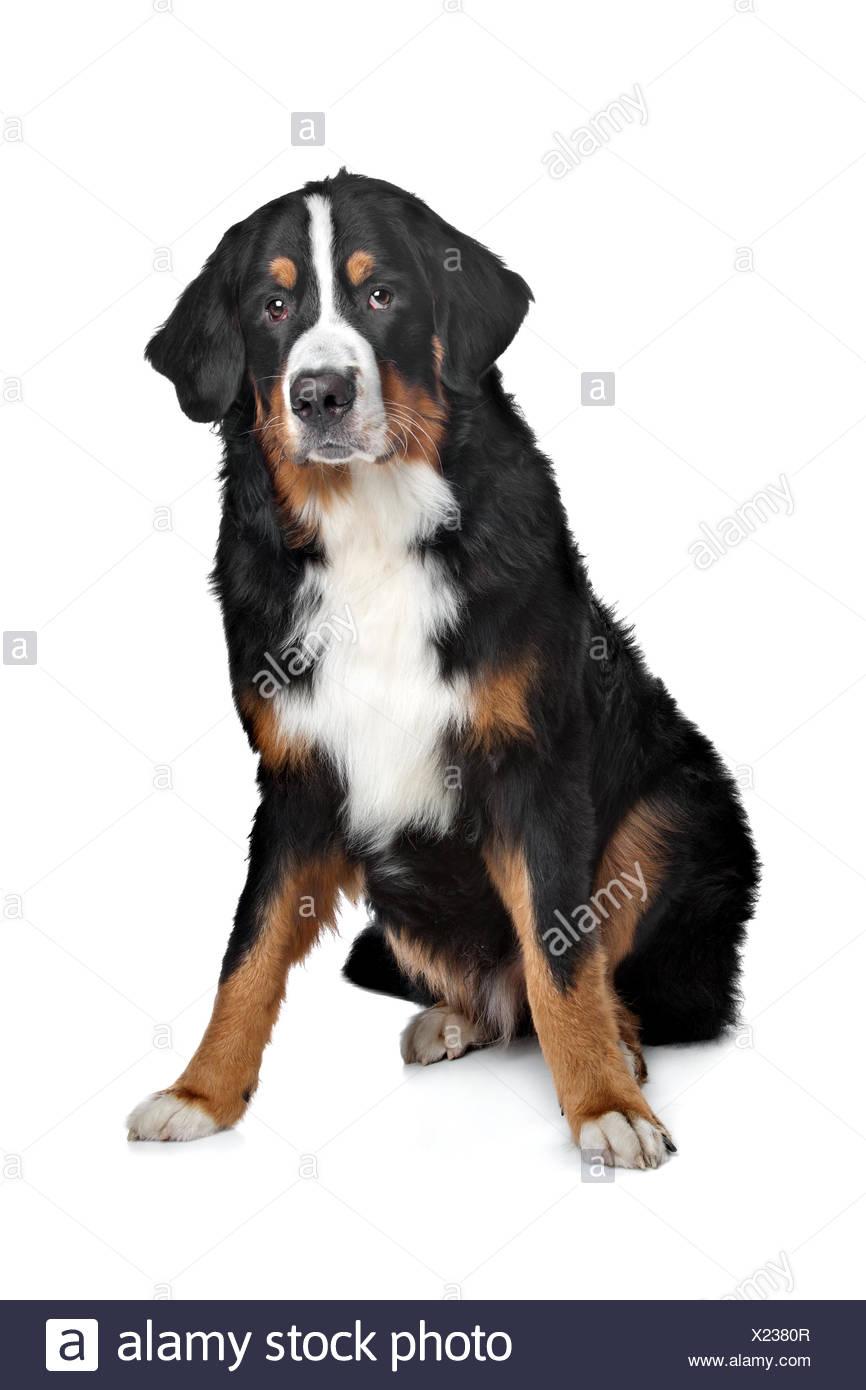 bernese mountain dog X2380R