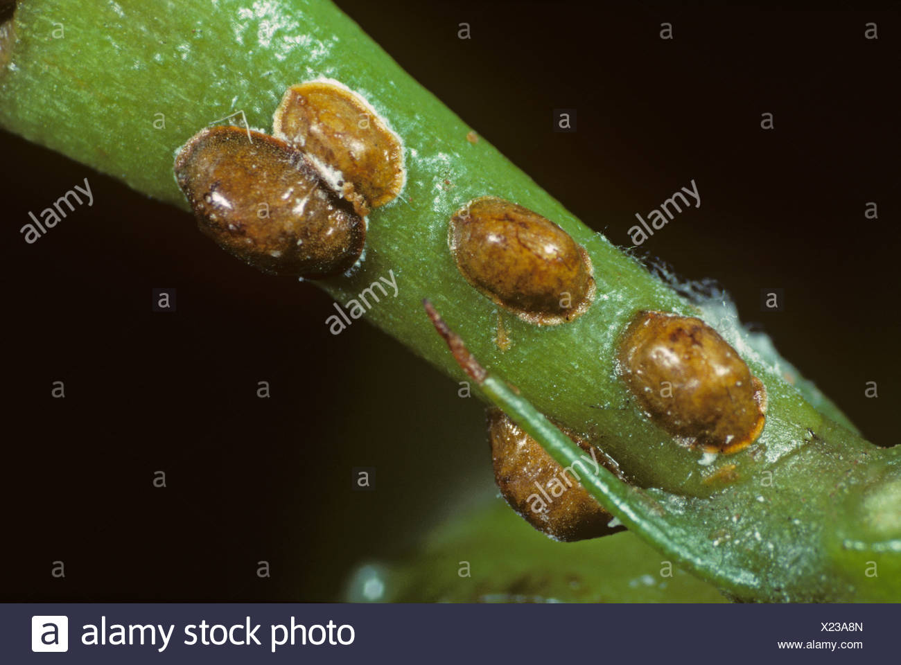 Brown scale insect, Parthenolecanium corni, on the stem of an indoor ornamental plant - Stock Image