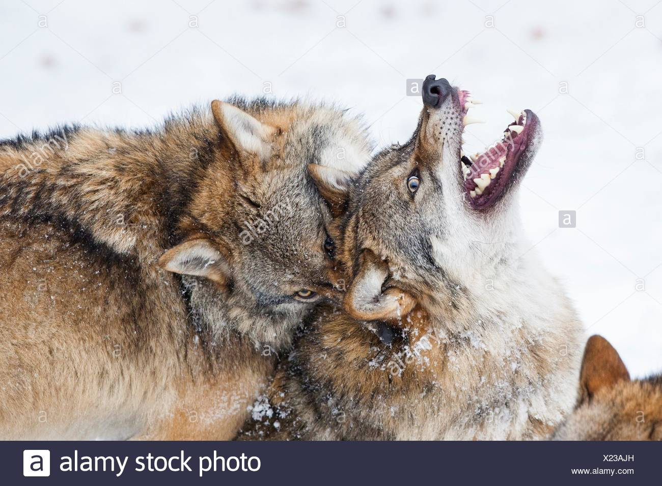 Two wolves (Canis lupus) fighting, Bavarian Forest National Park, Germany. - Stock Image