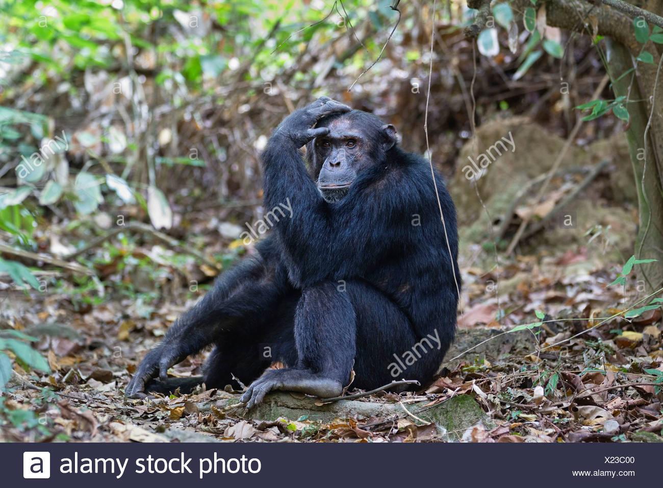 Chimpanzee (Pan troglodytes), male, thoughtful, Mahale Mountains Nationalpark, Ostafrika, Tanzania - Stock Image