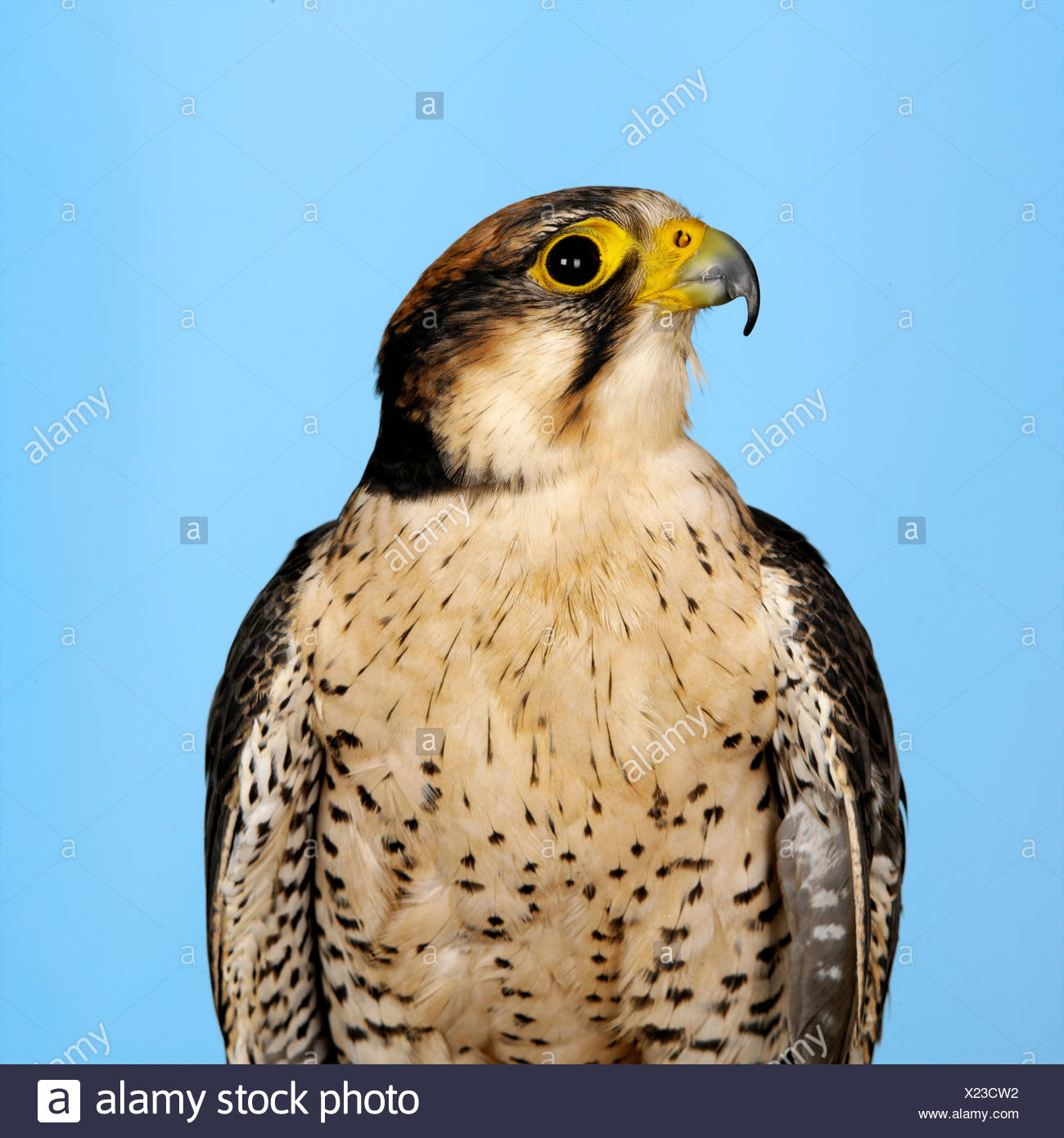 Lanner Falcon - Stock Image
