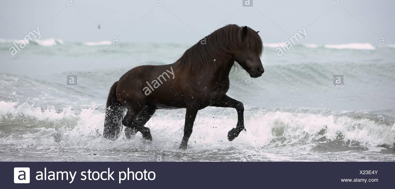 Pure Breed Icelandic Stallion in Ocean, Iceland - Stock Image
