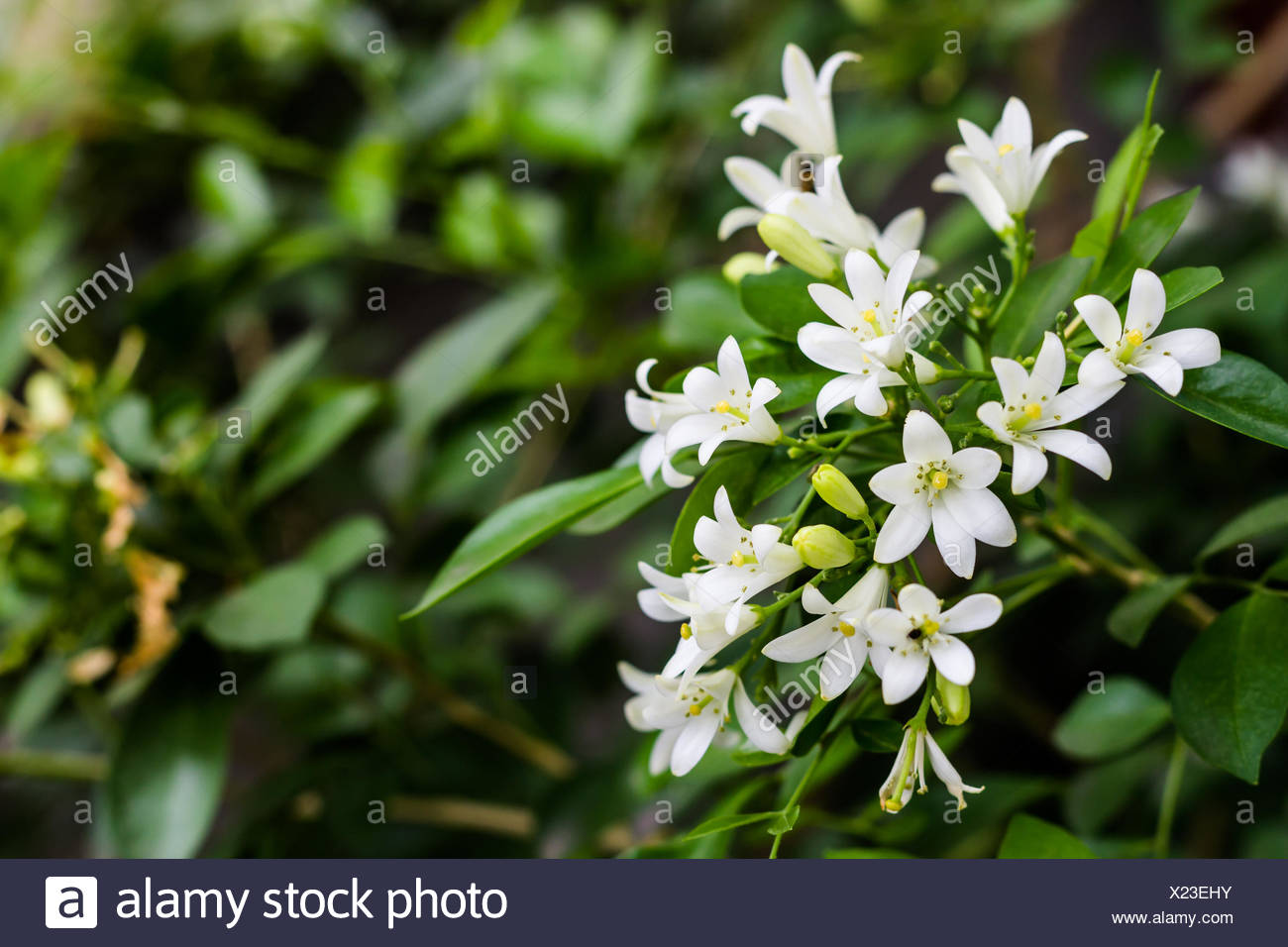 Scent of asian exotic flower stock photos scent of asian exotic white flowers stock image izmirmasajfo