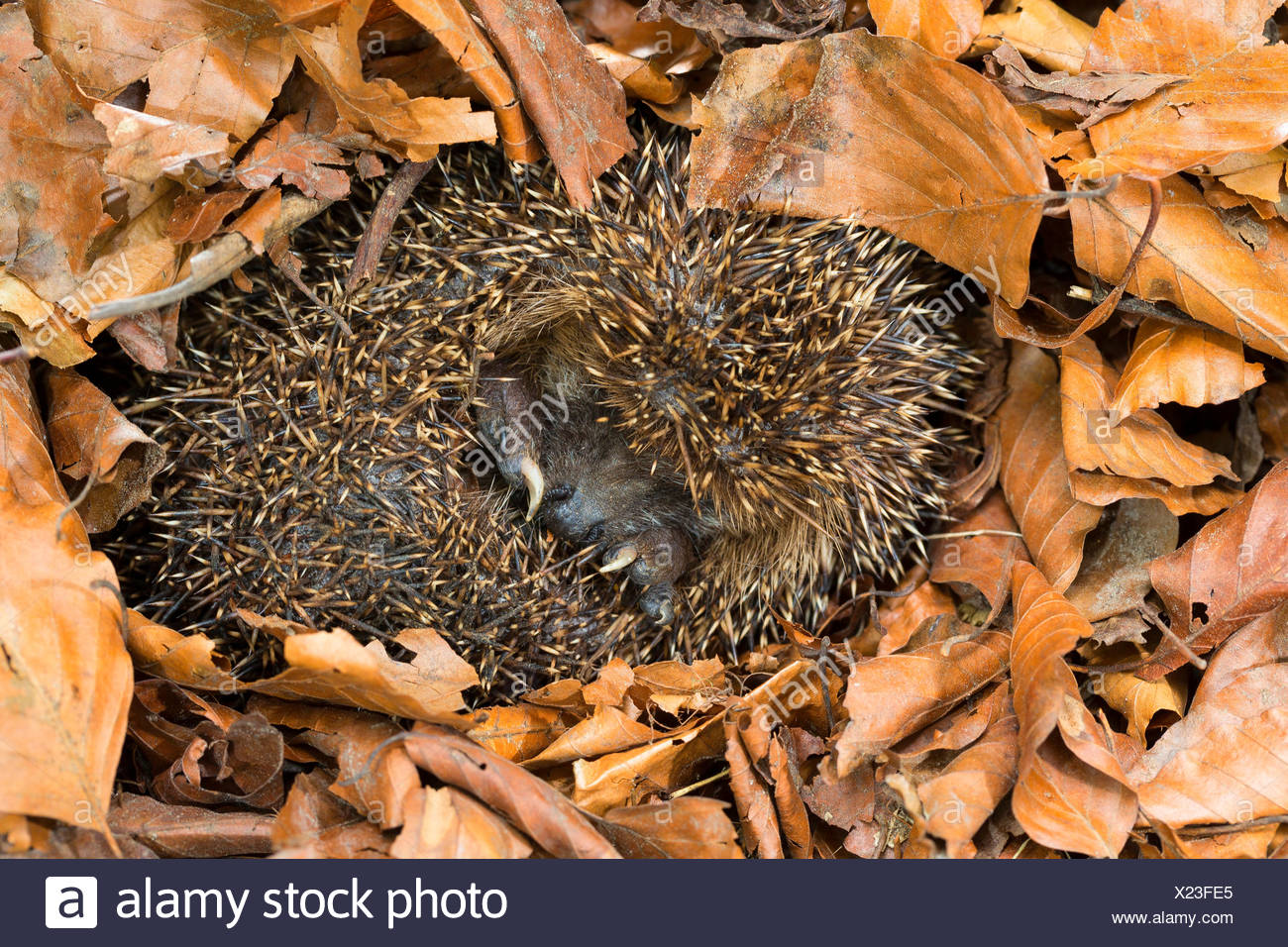 Western hedgehog, European hedgehog (Erinaceus europaeus), overwintering in leaf litter, Germany - Stock Image