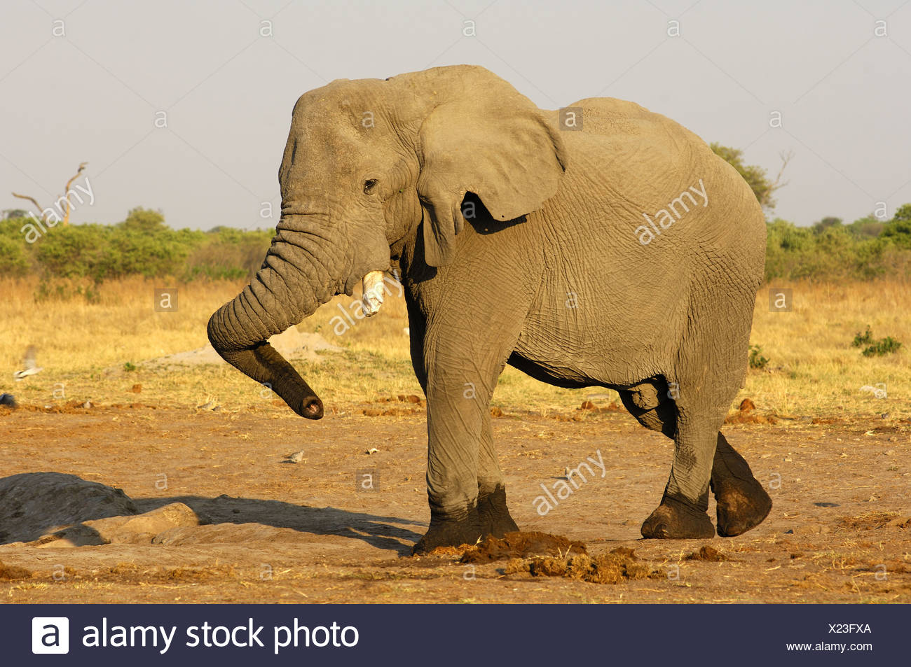 Dancing Elephant bull, Savuti, Botswana - Stock Image